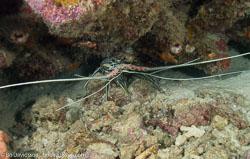BD-080402-Bunaken-4020962-Panulirus-versicolor-(Latreille.-1804)-[Painted-spiny-lobster].jpg